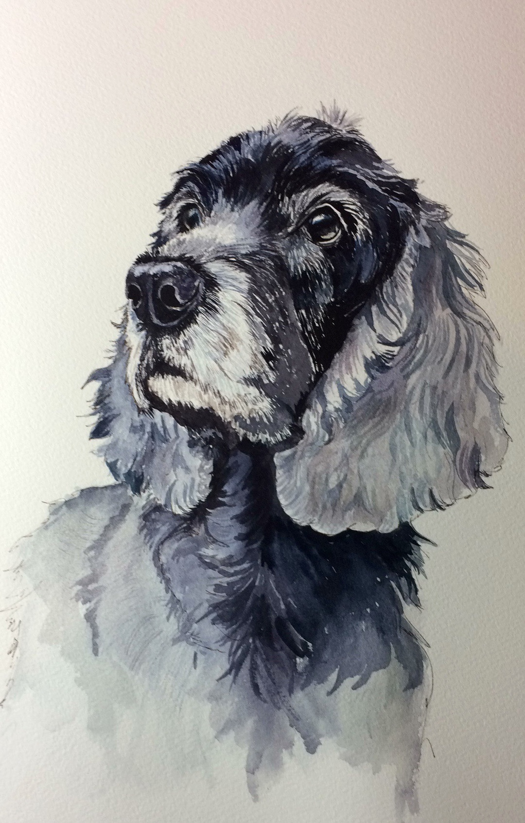 Fanny aged 12 and 3/4 a blue roan cocker spaniel